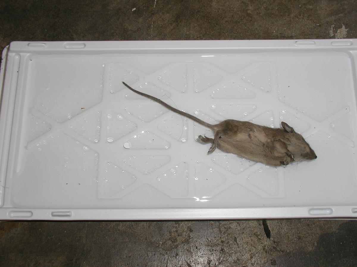 Ecotrap ratti bianca