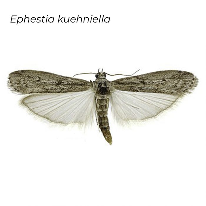 Ephestia
