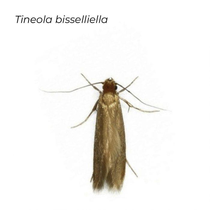 Tineola B
