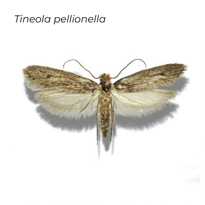Tineola P